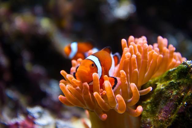 Błazenki w akwarium morskim Premium Zdjęcia