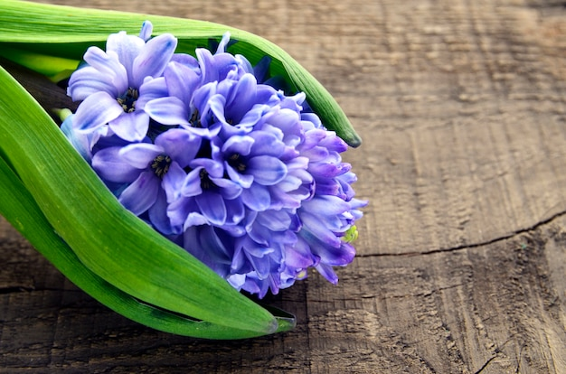 Błękitny Hiacynt Na Starym Drewnianym Tle Z Kopii Przestrzenią Hiacyntowy Wiosna Kwiat Wiosny Tło Selekcyjna Ostrość. Premium Zdjęcia