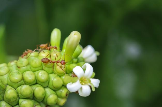 Bliska Czerwona Mrówka Na Plaży Morwy W Przyrodzie W Tajlandii Premium Zdjęcia