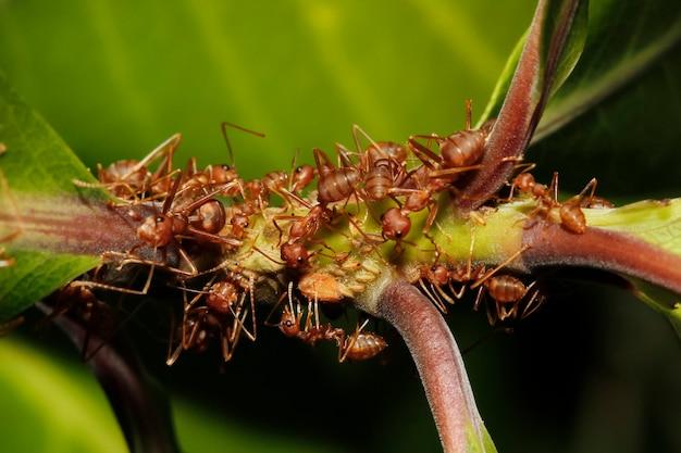 Bliska Grupa Czerwona Mrówka Na Kiju W Przyrodzie Premium Zdjęcia