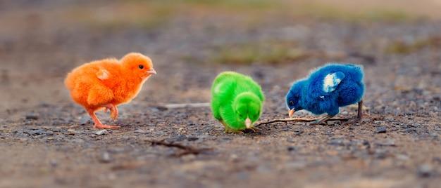 Bliska Nowo Narodzonego Kurczaka Czerwony, Zielony Premium Zdjęcia