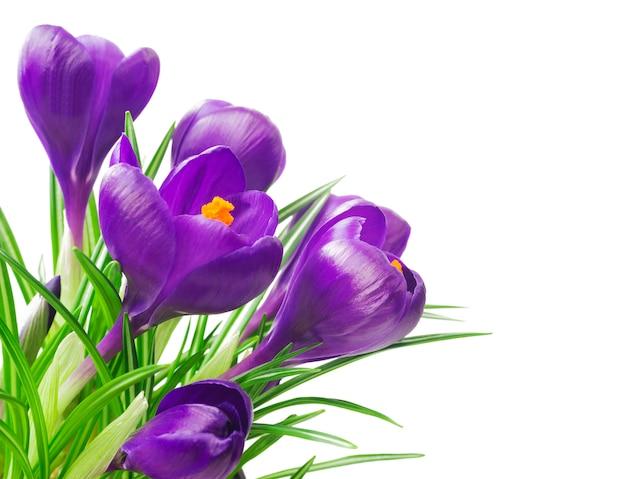 Bliska Piękne Krokusy Na Biało - świeże Wiosenne Kwiaty. Bukiet Kwiatów Fioletowego Krokusa. Premium Zdjęcia