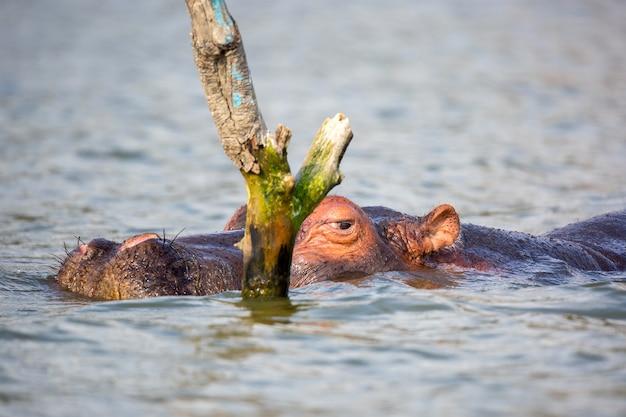 Bliska Portret Hipopotama W Jeziorze Naivasha. Premium Zdjęcia