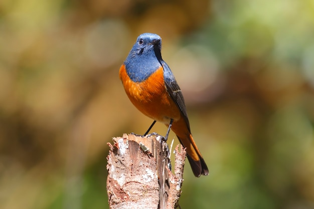 Blue-fronted Redstart Phoenicurus Frontalis Piękne Male Birds Of Thailand Premium Zdjęcia