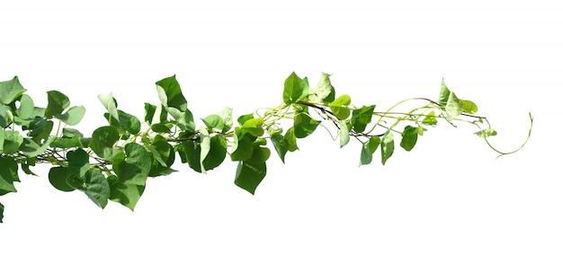 Bluszcz Roślina Odizolowywa Na Bielu Premium Zdjęcia