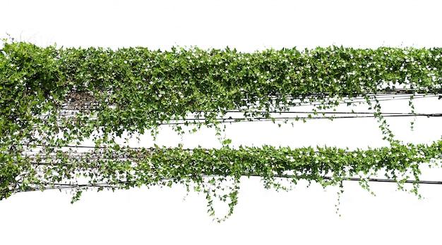 Bluszcz Rośliny Obwieszenia Drut Elektryczny Na Słupie Odizolowywa Na Białym Tle Premium Zdjęcia