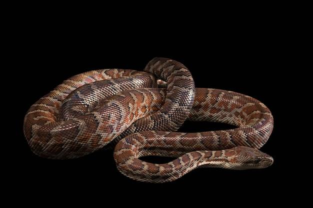 Boa Hispaniolan, Chilabothrus Lub Epicrates Striatus Darmowe Zdjęcia
