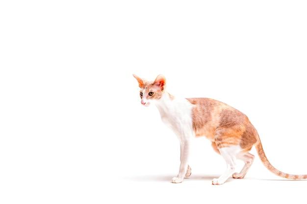 Boczny Widok Cornish Rex Kot Patrzeje Daleko Od Nad Białym Tłem