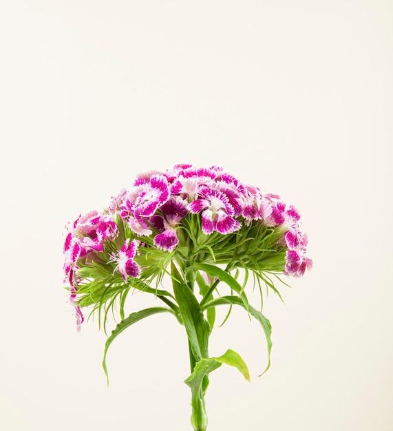 Boczny Widok Purpury Barwi Słodkiego William Lub Tureckiego Goździka Kwiatu Odizolowywającego Na Białym Tle Darmowe Zdjęcia