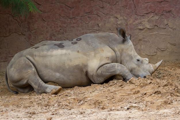 Boczny Widok Wielka Biała Nosorożec Siedzi Na Ziemi Premium Zdjęcia