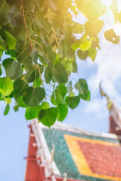 Bodhi Drzewo W Tajlandzkim świątynnym Miejscu Azjatykci Buddyjski Cześć Premium Zdjęcia