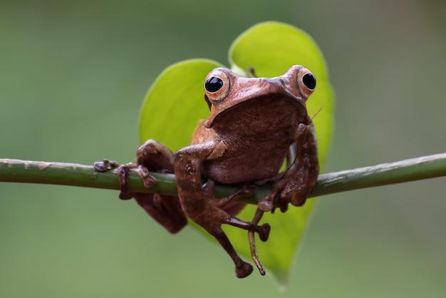 Borneo Uszata żaba Na Gałęzi Drzewa Premium Zdjęcia