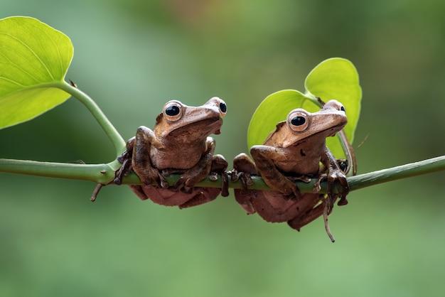 Borneo Uszate żaby Na Gałęzi Drzewa Premium Zdjęcia