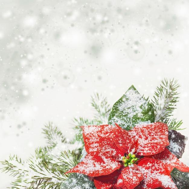 Bożenarodzeniowy tło z poinsecją na śniegu, tekst przestrzeń Premium Zdjęcia