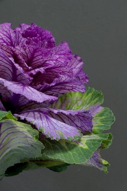 Brassica Oleracea Capitata Lub Kapusta Dekoracyjna Na Szarym Tle, Kartkę Z życzeniami Lub Koncepcji Premium Zdjęcia