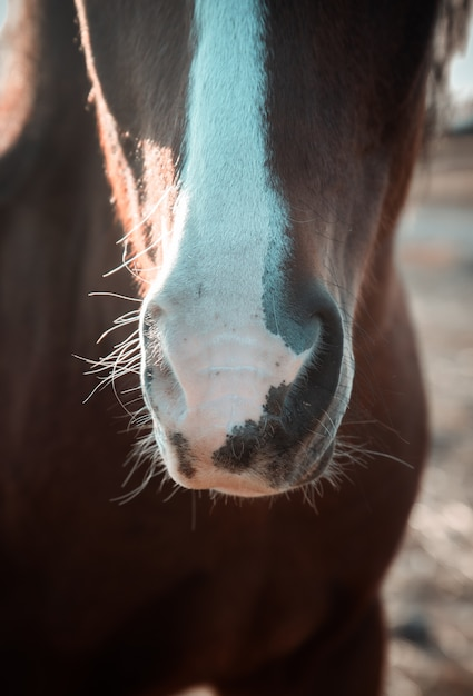 Brązowy Koń Biały Rozebrany Nos Premium Zdjęcia