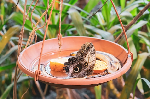Brązowy Motyl W Garnku Z Plastrami Pomarańczy I Skórkami Od Banana Darmowe Zdjęcia