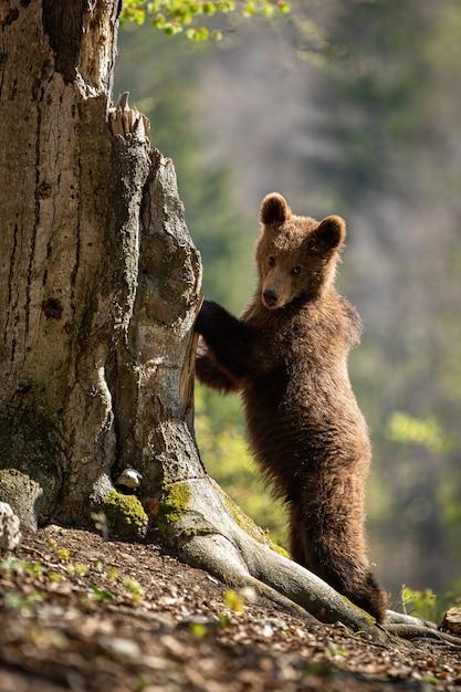 Brown Niedźwiadkowy Lisiątko Wspina Się Drzewa W Wiosna Lesie Premium Zdjęcia