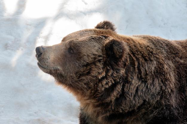 Brown Niedźwiedź Stoi Na Białym śniegu Premium Zdjęcia