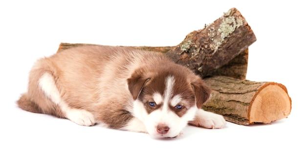 Brown Szczeniaka Siberian Husky Z Niebieskimi Oczami Kłama, Odizolowywającymi Na Bielu Premium Zdjęcia