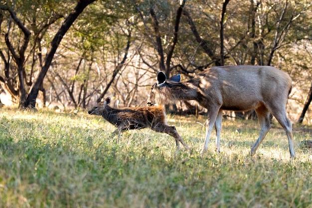 Buck I Matka Premium Zdjęcia
