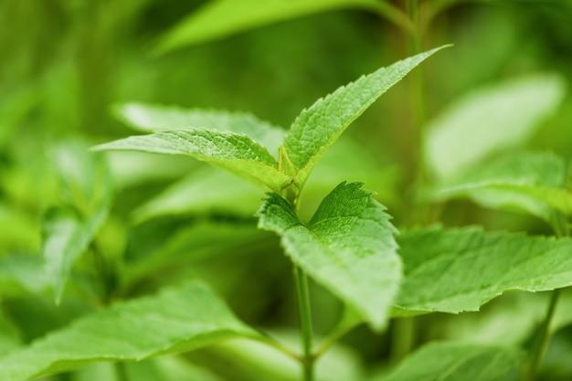 Bud Nie Otworzył Kwiatu - Heliopsis, Zielona Roślina W Ogrodzie. Fotografia Pozioma Premium Zdjęcia