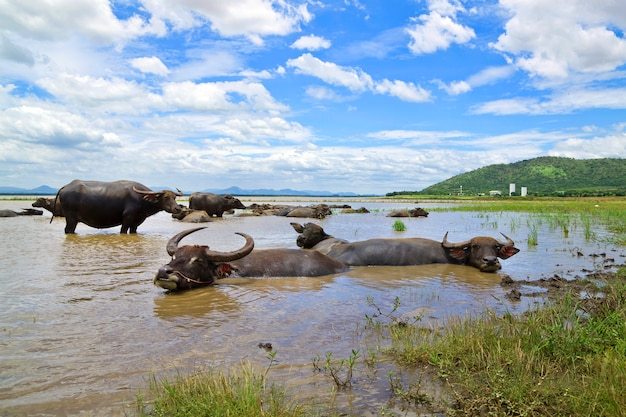 Buffalo W Tajlandii, Które Leżą Wody Do Chłodzenia Premium Zdjęcia