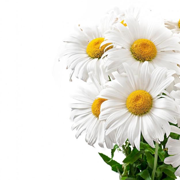 Bukiet Stokrotek Kwitnie Na Bielu Odizolowywającym Darmowe Zdjęcia