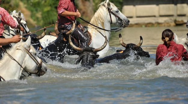 Byk I Konie W Wodzie Premium Zdjęcia