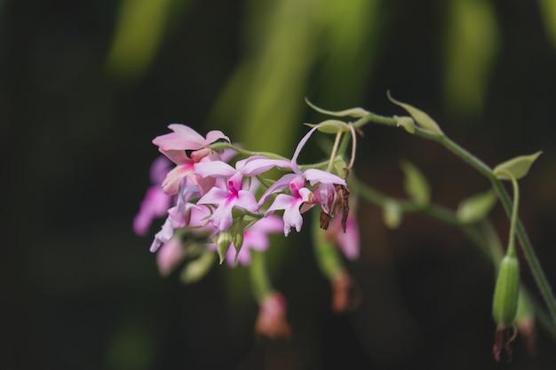 Calanthe Orchid (calanthe Vestita) Kwitnąca W Tropikalnym Ogrodzie Premium Zdjęcia