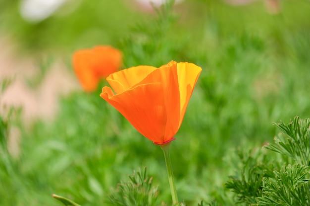 California Złote Kwiaty Maku, Pomarańczowy Kwiat Kwitnący W Parku Premium Zdjęcia