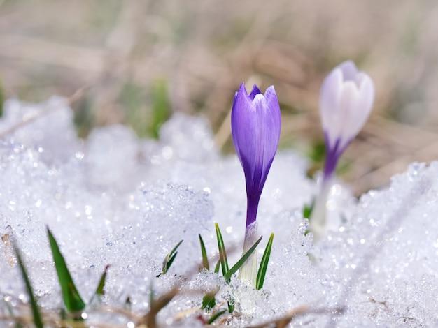Całkiem Dzikie Fioletowe Kwiaty Premium Zdjęcia
