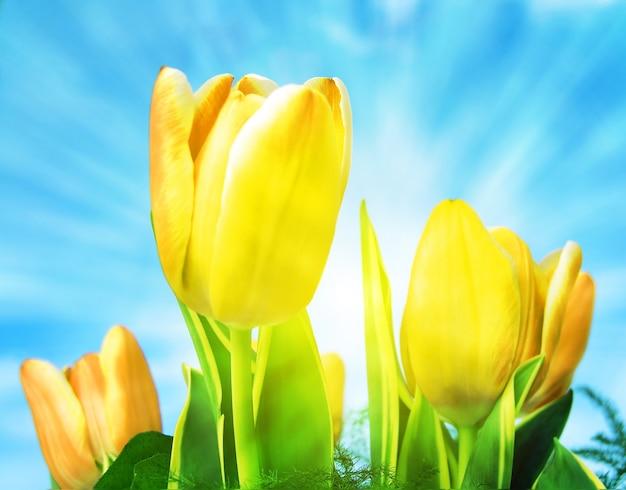 Całkiem Tulipany Z Tłem Słońca Darmowe Zdjęcia