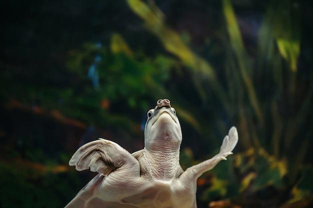 Carettochelys Insculpta. świniowaty żółw Pływa W Akwarium. Premium Zdjęcia