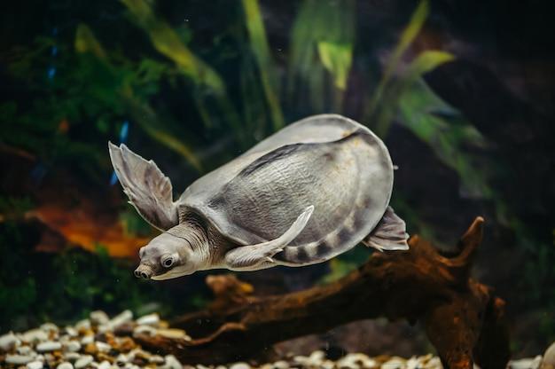 Carettochelys Insculpta. Wesoły żółw Pływa Pod Wodą. śmieszne Zwierzęta. Premium Zdjęcia