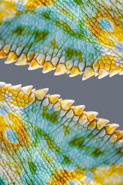 Chamaeleo quadricornis, czterorożna skóra z bliska Premium Zdjęcia