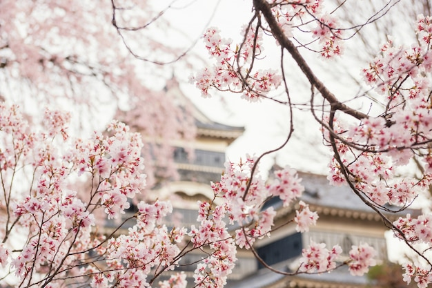 Cherrry blossom lub sakura w zamku matsumoto Premium Zdjęcia