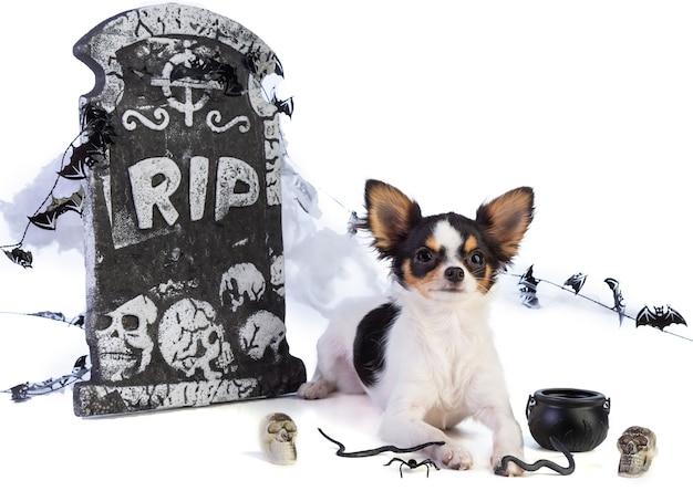 Chihuahua Na Halloween Z Wystrojem Nagrobka Na Białym Tle Premium Zdjęcia