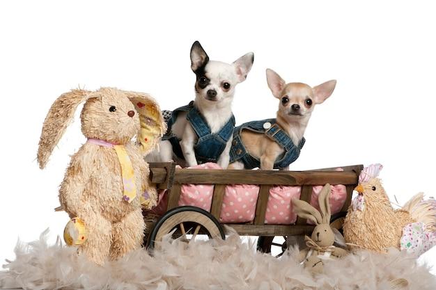 Chihuahua W Dżinsach, 1-letni I 11-miesięczny, Siedzący W Wozie Dla Psa Z Wypchanymi Zwierzętami Premium Zdjęcia
