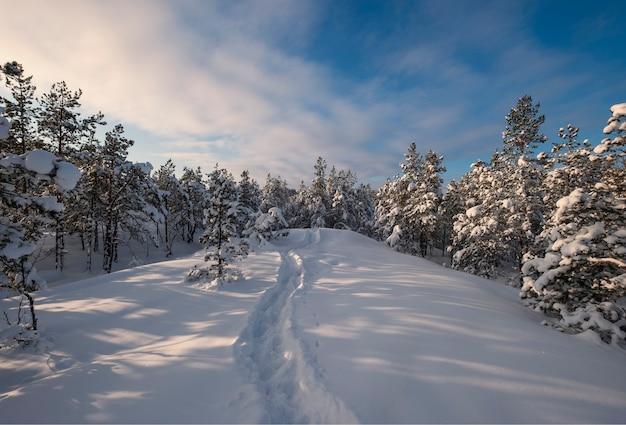 Choinki I Szlak W śniegu Na Wzgórzu W Zimowym Lesie W Laponii Premium Zdjęcia