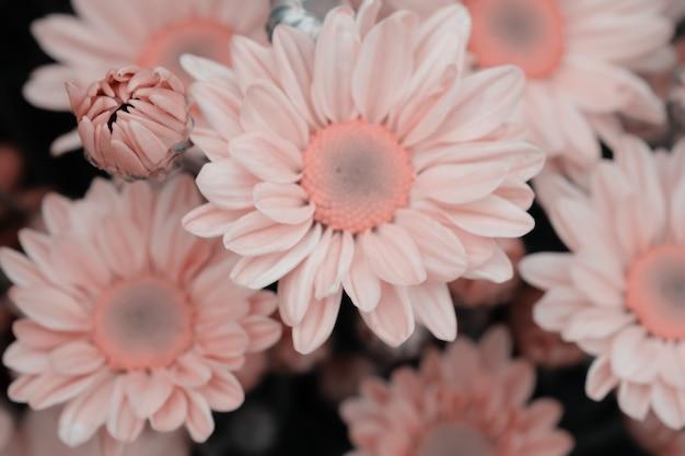 Chryzantema kolorowe kwiaty wykonane z gradientem na tle Premium Zdjęcia