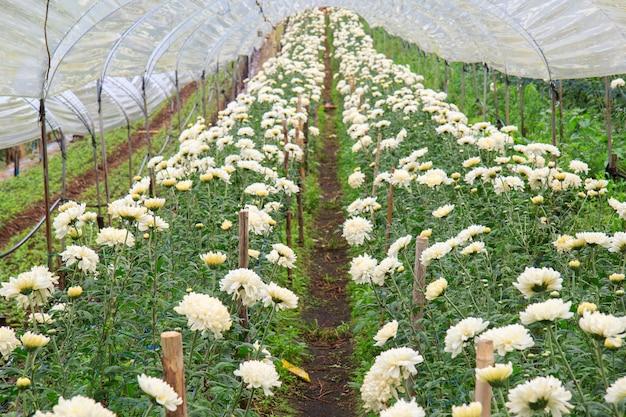 Chryzantemy Gospodarstwo Rolne Przy Doi Inthanon Parkiem Narodowym W Chiang Mai, Gubernialny Azja Tajlandia Premium Zdjęcia