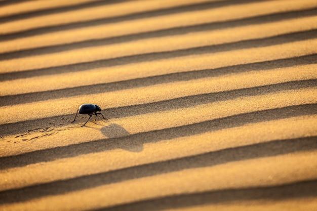 Chrząszcza Skarabeusza (scarabaeus) Na Pustynnym Piasku Premium Zdjęcia
