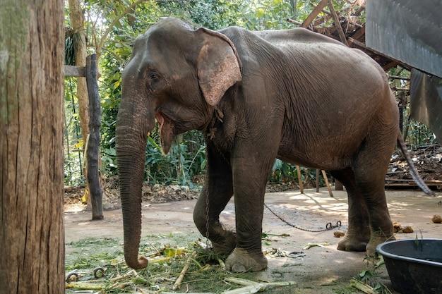 Chudy Azjatycki Słoń Został Wychowany W Schronisku Dla Ludzi. Premium Zdjęcia