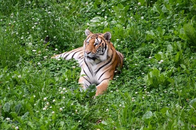 Cichy tygrys leżący w polu Premium Zdjęcia