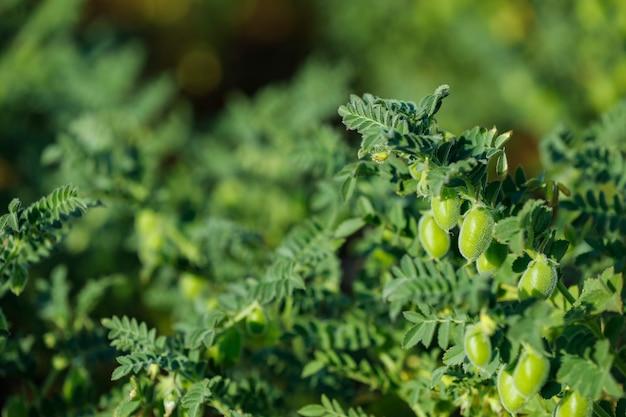 Ciecierzyca Indyjska, Rolnictwo Indyjskie Premium Zdjęcia