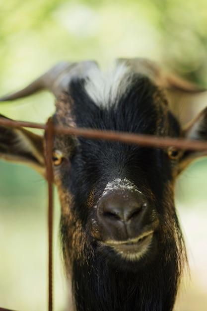 Close-up Farm Goat In Stable Darmowe Zdjęcia