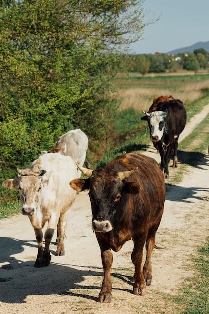 Close-up Krowy Chodzą Na Polnej Drodze Darmowe Zdjęcia