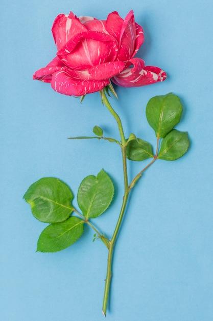 Close-up różowa róża z zielonymi liśćmi Darmowe Zdjęcia