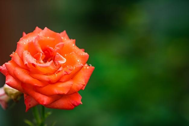 Close-up Stock Photo Pięknej Kwitnącej Czerwonej Róży Rosnącej W Ogrodzie Premium Zdjęcia